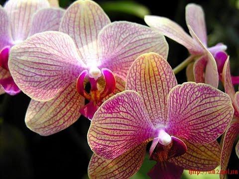 Самые АЗЫ Основные принципы правильного ухода за орхидеей