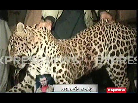 Indian Tiger In Pakistan
