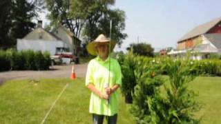 see How to trim an Emerald Green Arbor Vitae