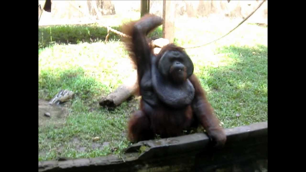 Pics of Fat Monkeys Funny Fat Monkey Throws a