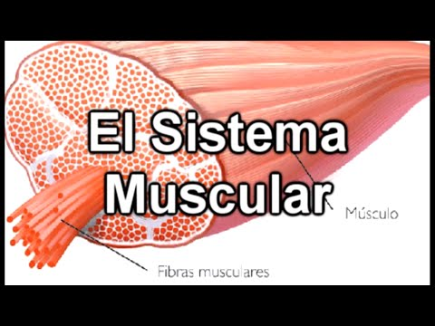 El Sistema Muscular - Documental de Biología