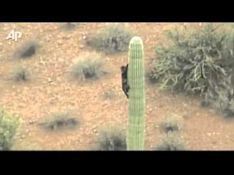 Raw Video: Cat Caught on Cactus for Days