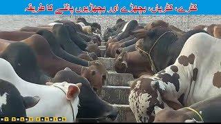 48 | Animal Fattening | کٹرے، کٹریاں، بچھڑے اور بچھڑیوں کی نگہداشت کا طریقہ | Modern Farming