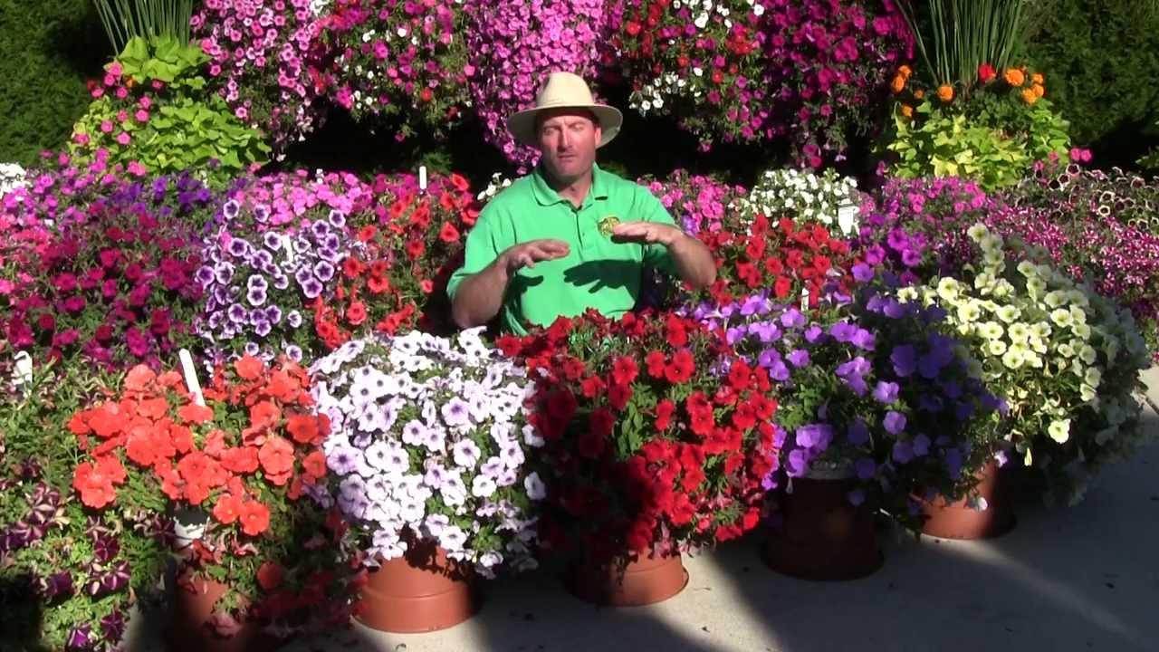 Trailing Petunia Part 3 Youtube