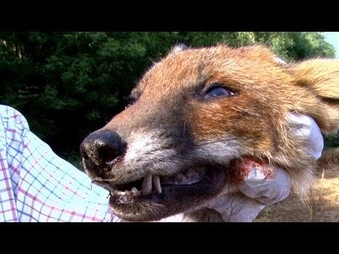 Pellet Power & Performance - FX Boss air rifle test on a fox's head