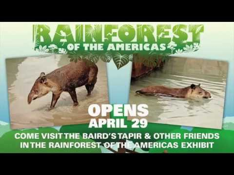 Baird's Tapir at the Rainforest of the Americas