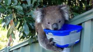 Cute Thirsty Koala - More Water Please