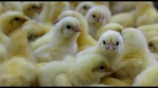 download lagu What Is Factory Farming? - Laying Hens gratis