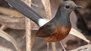 Murai Batu Betina Muda Hutan | Female White Rumped Shama Fighter