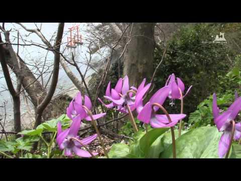 浅虫温泉・湯ノ島カタクリ - カタクリ群生 - 0309A