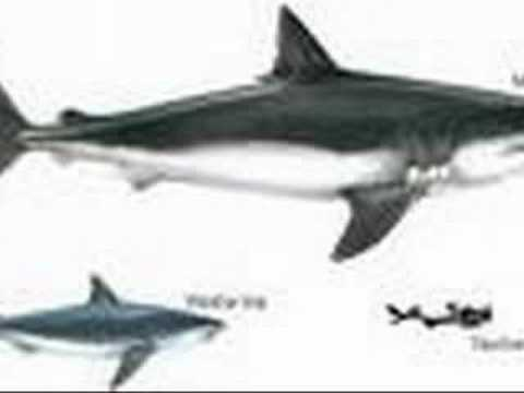 The MEGALODON SHARK Video