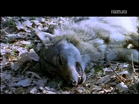 Las monta ñas del lobo.