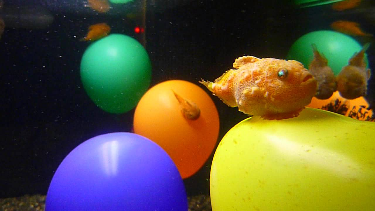 how to make a balloon fish