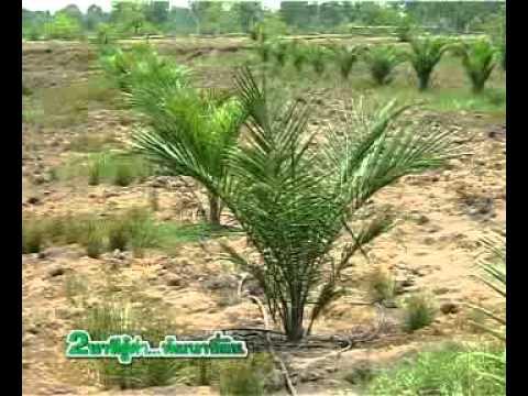กรมพัฒนาที่ดิน - พืช - กรมหมอดินสาธิตปลูกปาล์มน้ำมัน 300 ไร่ 52