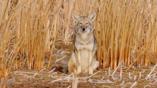 Coyote Country: myth vs fact