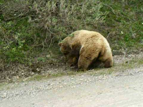 Bear Attack in Denali Alaska 2008