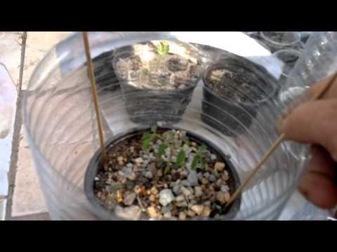 How to germinate & grow Moringa oleifera  (Miracle Tree) from seeds