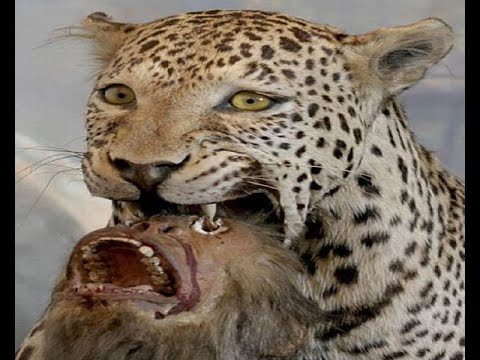 Jaguar - The Big Cat of Americas!!!