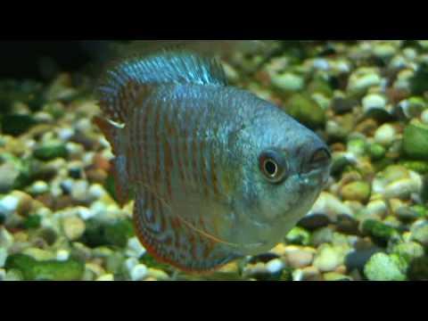 Dwarf Tropical Fish Tropical Fish Neon Blue