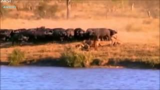 مستندی نفس گیر از بچه بوفالوی گرفتار در بین تمساح و شیرها