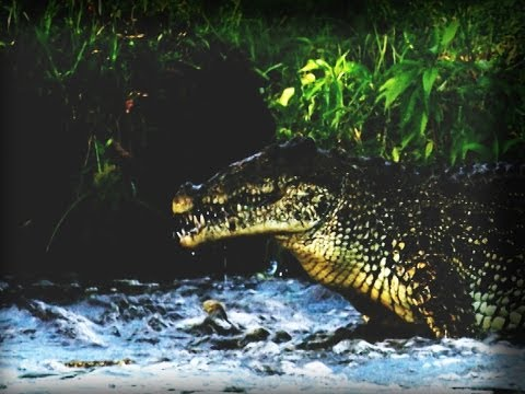 Lucha de cocodrilos | Crocodiles fighting