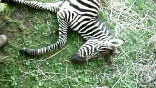 Sleeping Zebra