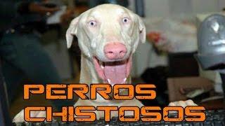 Videos De Risa De Perros Chistosos 2015