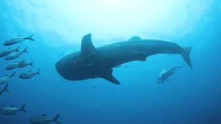 2011-09-24 チュンポンピナクルのジンベエザメ