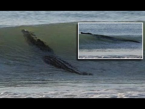 Great White Shark...No ! Hungry 13FT monster CROCODILE surfing and closes a beach in Australia