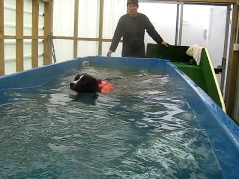 Sam the Border collie swimming for health at Dog Swim Spa