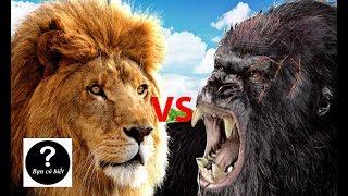 Khỉ đột Gorilla vs Sư tử, con nào sẽ thắng #31    Bạn Có Biết?