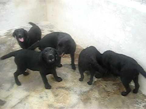 Labradores negros machos 4 meses 01 Video