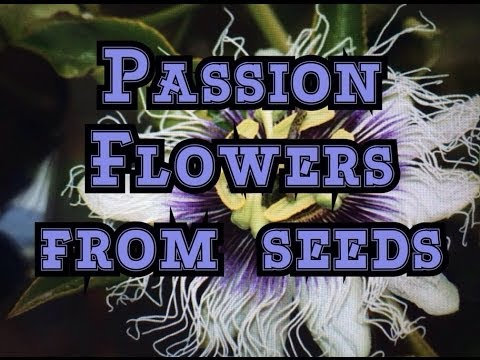Growing Passion fruit Vines from Seeds / Germinating Passiflora edulis Seeds