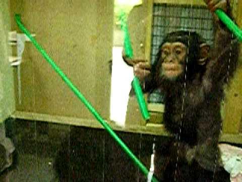 チンパンジーの赤ちゃん02(茶臼山動物園)