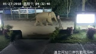 Wild Asian Elephant Takes China Laos Border Tour