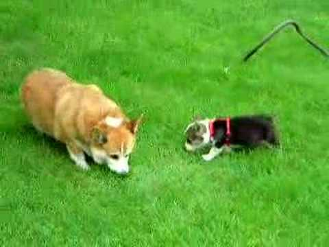 Cute Corgi Puppy and Adult Welsh Corgi