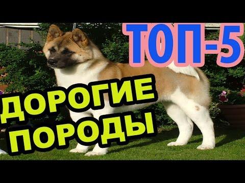 Самые ДОРОГИЕ породы собак в мире(Топ-5) - Интересное в Мире