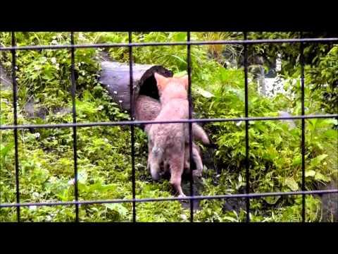 2011年7月4日 旭山動物園 穴をのぞくヌプリとチュプ・・・そこには