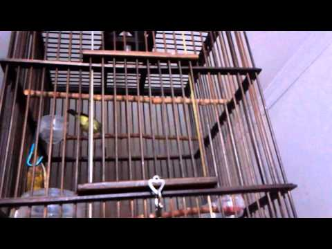 Burung Pleci Ngalas ( Si Xeon ) video