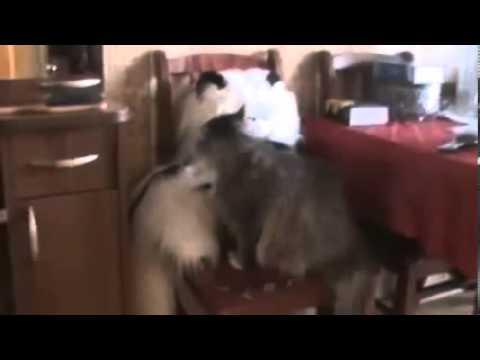 Кошка и её игрушечный друг Cat and her toy friend Юмор! Прикол! Смех