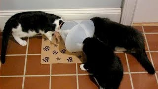 CATS acting very FUNNY and WEIRD - PREPARE to LAUGH SUPER HARD!