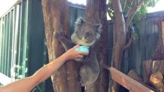 A Wild Koala In The Backyard