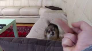 Angry Chihuahua Hates Getting The Middle Finger