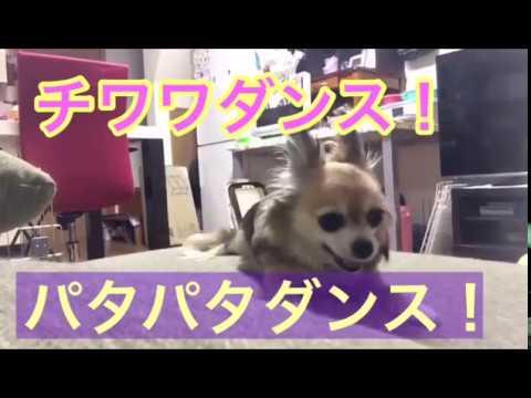 【可愛いチワワ】(^_-)-☆踊り狂うナナちゃん!パタパタダンス!