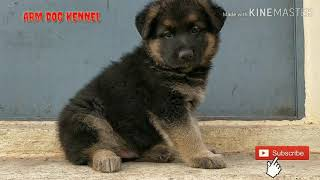 German Shepherd Gsd Puppy Available For Sale at ARM Dog kennel