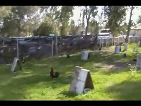 Navajas de gallos: de venta