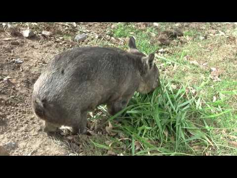 Nosed hairy wombat northern