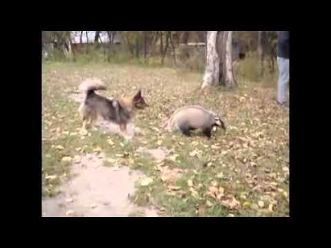 Собака и барсук