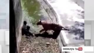 หนุ่มอินเดียกระโดดลงบ่อเสือขาว โดนขย้ำดับสยอง!