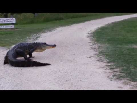 Huge Alligator on road - Brazos bend state park Houston Texas